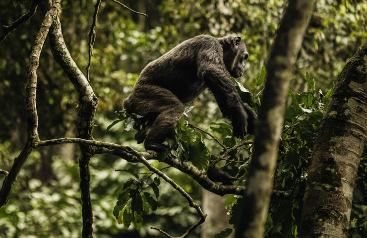 Chimpanzee groups